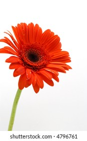Vertical shot of  one red Gerber Daisy with green stem over white background