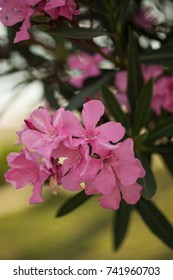 Vertical shot of pink oleander flowers shot with shallow depth of field