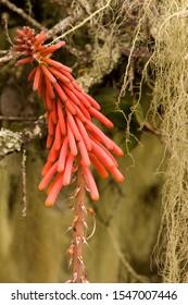 Red Hot Poker Papaya Popsicle