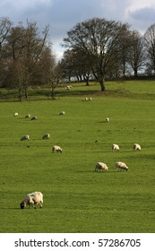 Vertical shot of some sheep grazing on typical English farmland.