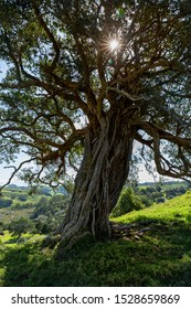 Vertical shot of a trunk of an old, pohutukawa tree, New Zealand native tree
