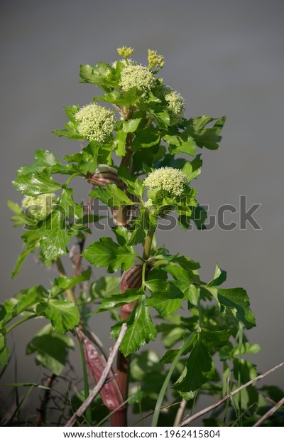 Vertical shot of wild Alexanders (Smyrnium olustratum) plant with flower buds growing in Ireland. Grey bokeh background.