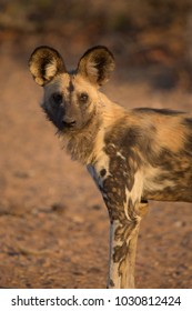 A vertical, side lit, colour image of an African wild dog