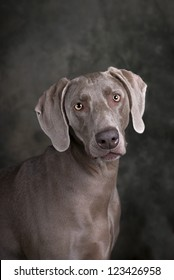 Vertical studio head and shoulders image of a beautiful Weimaraner dog on a dark toned green and gray background.
