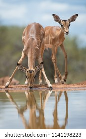 A vertical, surface level, full length shot of two young male impalas, Aepyceros melampus, at a waterhole in the Karongwe Conservancy, Limpopo Province, South Africa.
