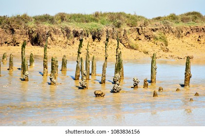 Vertical trunks on the shore of the Guadalquivir River in Doñana National Park, Spain,