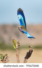 A vertical, vibrant colour photo of a lilac-breasted roller, Coracias caudatus, stunningly colourful wings spread in flight in Savute, Botswana.