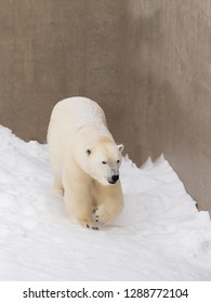 Vertical view of beautiful well-fed young female polar bear seen mid-step walking and enjoying fresh snow in her enclosure in winter, Quebec City, Quebec, Canada