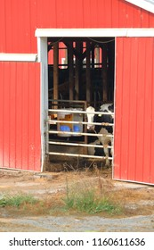 Vertical view of the entrance to a red, unkempt cattle barn where a Heifer dairy cow stands looking out.