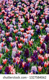 Vertical View of a Field of Red and White Tulips with Purple, Lavender, and Grape Hyacinths outside of Amsterdam, Netherlands