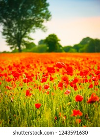 Vertical view of poppy flowers in a wheat field at sunset in Friuli Venezia Giulia, Italy