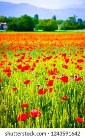 Vertical view of poppy flowers in a wheat field with trees and hills in the background, Friuli Venezia Giulia, Italy