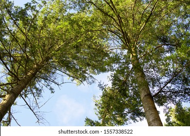 a vertical view of two large pine trees with a blue sky background