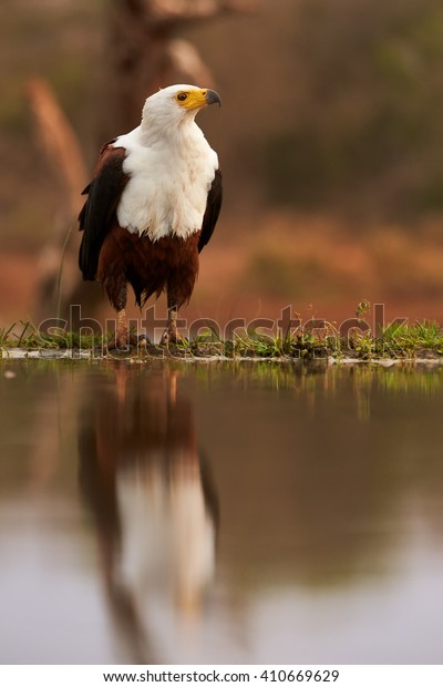 Vertical, from water level photo of wild African fish eagle, Haliaeetus vocifer on a rim of a small pond, reflecting itself in water surface. African birdlife photography, KwaZulu Natal, South Africa.