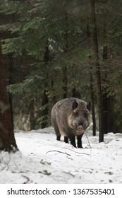 vertical wild boar in winter landscape portrait