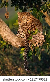 A vertical wildlife photograph of one adult male Leopard (panthera pardus) resting in a tree looking over his shoulder in beautiful morning light in the Masai Mara in Kenya.