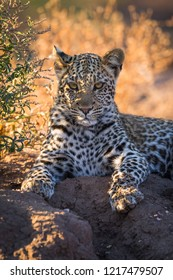 A vertical wildlife photograph of one young Leopard (panthera pardus) resting in the shade of a small tree on a hot day in the Mashatu Game Reserve in Botswana.