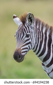 A vertical wildlife photograph of one young African Zebra (Equus Quagga) standing looking over the grassland plains during an overcast day in the Masai Mara in Kenya.