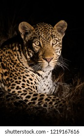 A vertical wildlife photograph portrait of an adult male Leopard (Panthera pardus) captured at night with a spotlight looking towards the camera taken in the Sabi Sands Game Reserve in South Africa.