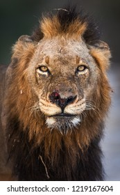 A vertical wildlife photograph portrait of an injured adult male Lion (Panthera Leo) looking directly towards the camera, with a scar on his nose taken in the Sabi Sands Game reserve in South Africa.