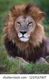 A vertical wildlife photograph portrait of a resting adult male Lion (Panthera Leo) looking towards the camera in soft light in the Okavango Delta in Botswana.
