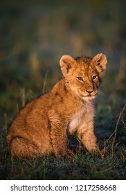 A vertical wildlife photograph of a young Lion Cub (Panthera Leo) resting on green grass in golden morning sunrise light on the plains of the Masai Mara in Kenya.