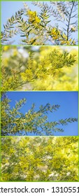 Verticle banner with Australian spring time with yellow wattles in bloom