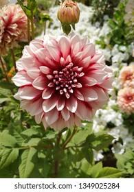 Veru beautiful red white colored flower