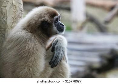 Vervet Monkey.