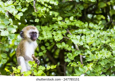 Vervet monkey (Cercopithecus aethiops) sitting in a tree, South Africa