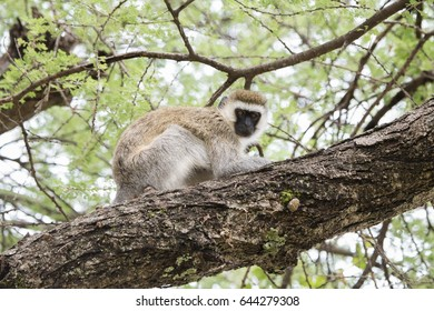 Vervet Monkey (Chlorocebus pygerythrus) in an Acacia Tree in Northern Tanzania