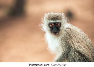 Vervet monkey (chlorocebus pygerythrus) with big orange eyes in the Isimangaliso National Park in Southafrica