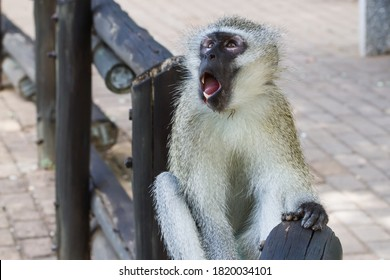 Vervet monkey (Chlorocebus pygerythrus) with mouth open and teeth showing looking surprised and scared in Kruger National Park, South Africa with bokeh background