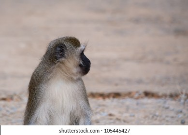 Vervet monkey (Chlorocebus pygerythrus) at a Nature Reserve in South Africa