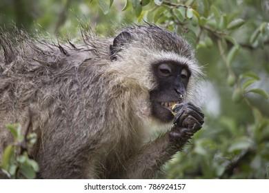 vervet monkey, chlorocebus pygerythrus, sitting in tree eating fruit