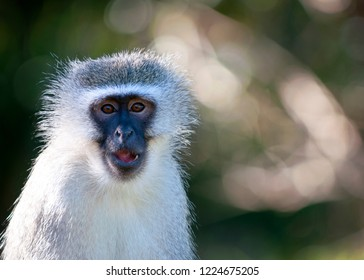 Vervet Monkey up close, blurred background