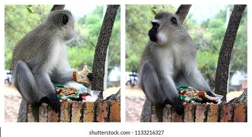 Vervet monkey eats the stolen bread. The funny behaviour of the wild animals. Zimbabwe.