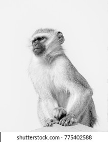 Vervet monkey keeping a lookout for trouble in black and white high key