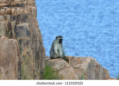 vervet monkey in Kruger National park in South Africa