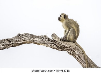 Vervet monkey in Kruger national park, South Africa ; Specie Chlorocebus pygerythrus family of Cercopithecidae