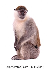 Vervet Monkey on the white background