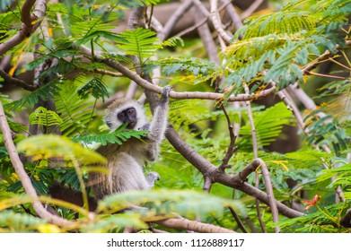 Vervet monkey sitting on a wall in the savannah of Amboseli Park in Kenya