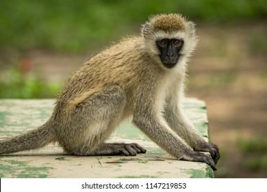 Vervet monkey sitting on wall facing camera