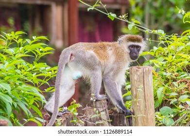 Vervet monkey sitting on a wooden post in the savannah of Amboseli Park in Kenya