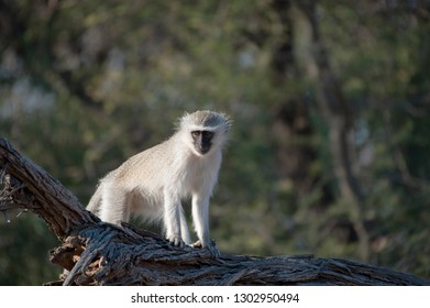 Vervet monkey standing on a branch in Kruger National Park, South Africa