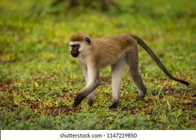 Vervet monkey walking on wet grass lawn