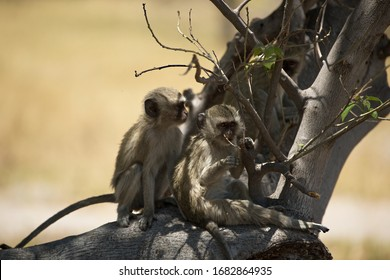 Vervet monkeys sitting on a branch
