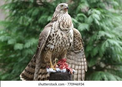 Very alert Goshawk protecting her prey