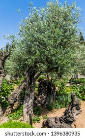 Very ancient olives grow in the Garden of Gethsemane. Gethsemane Garden in the eternal Jerusalem. Ancient olive trees under the hot autumn sun. The concept of historical, religious  tourism