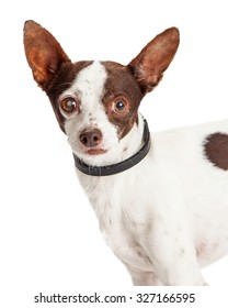 A very attentive mixed breed Chihuahua dog looks directly into the camera.